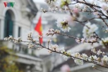 Bac Giang receives 100 cherry blossom trees from Japan-Vietnam Friendship Association of Chukyo