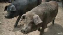 Localities nationwide apply drastic measures against African Swine Fever