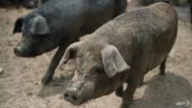 african swine fever outbreak kills 3000 pigs in indonesia