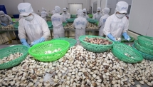 eu funded project helps facilitate sustainable clam farming in mekong delta