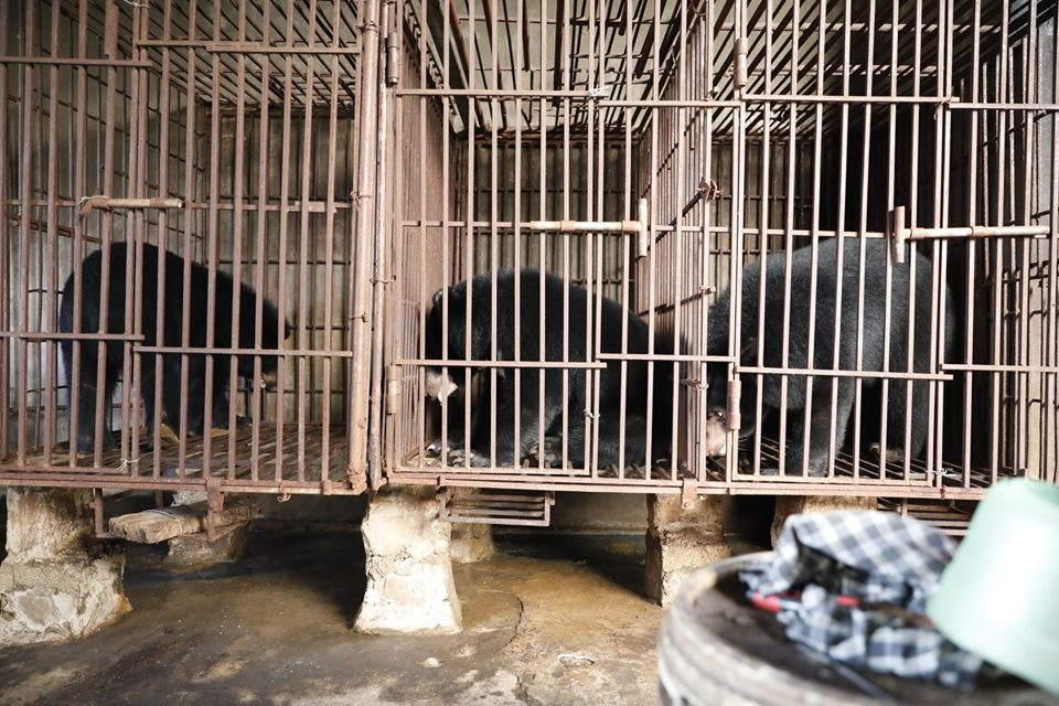 Three illegal bears rescued in Nghe An