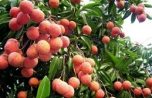 over 11000 tonnes of lychees shipped to china via lao cai border gate