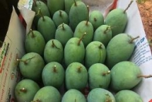 vietnam province of son la exports more mangoes to uk