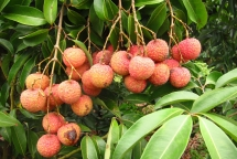 bac giang earns vnd 54 trillion from lychees