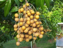vietnam to ship longan to us for first time