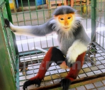 rare primate handed over to cuc phuong park