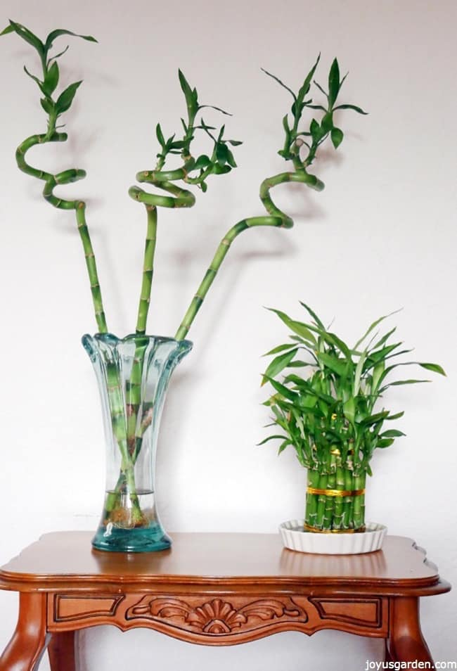 3 twisted stalks of lucky bamboo & an arrangement of lucky bamboo sit on a table.