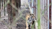 tiger detected positive for coronavirus in the us raising queries about transmission in animals