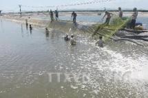 an giang province develops giant river prawn farming area