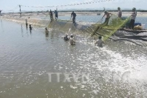 an giang province develops giant river prawn farming area