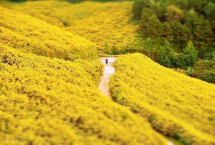 Wild sunflower season in Dalat