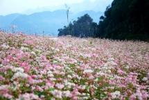 exhibition on buckwheat flower opens in hanoi