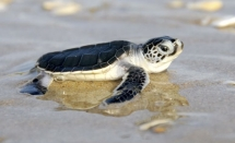returning 900 baby turtles to sea