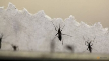 scientists determine why second dengue infection is worse than first