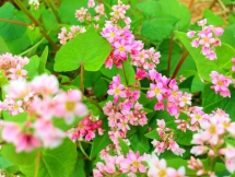 buckwheat flower festival 2018 in ha giang promises diverse activities