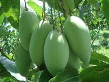 us permits import of vn mangos
