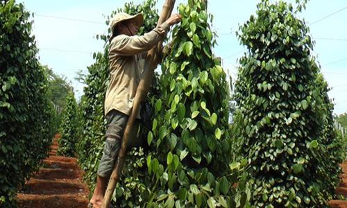 VN pepper industry focuses on sustainable development